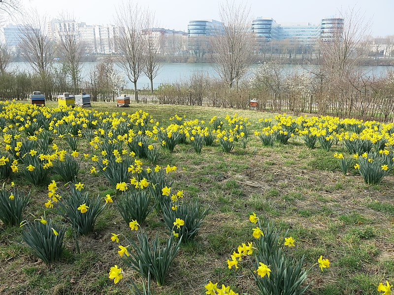Daffodils (Narcissus sp.) in the parc Pierre Lagravère near Colombes (Hauts-de-Seine, France).