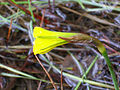 Narcissus bulbocodium lateralside 2010-3-07 DehesaBoyalPuertollano.jpg