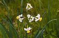 Narcissus tazetta, Agde 02.jpg