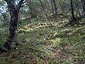 Narcissus triandrus habitat.jpg