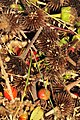 Native seed harvest Sand Lake Wetland Management District 02 (14621614382).jpg