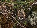 Natterjack Toad (Bufo calamita) - geograph.org.uk - 910884.jpg