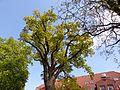 Naturdenkmal 3-2, Eiche vor dem neuen Rathaus, Bild 2.JPG