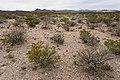 Near Berrenda Creek - Flickr - aspidoscelis (2).jpg
