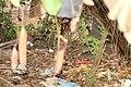 Nepenthes 'Miranda' (48).jpg