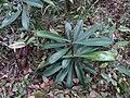 Nepenthes mapuluensis rosette plant.jpg