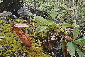 Description de l'image  Image:Nepenthes northiana.jpg .
