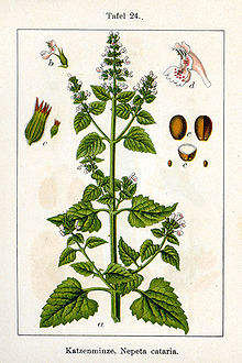 Nepeta - Wikipedia, the free encyclopedia