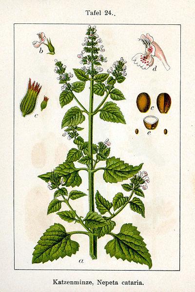 Nepeta cataria - Kattenkruid. In 'Deutschlands Flora in Abbildungen', 1796, Sturm. Public Domain