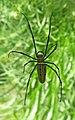Nephila Maculata.JPG