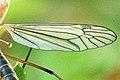 Nephrotoma.appendiculata.wing.detail.jpg