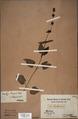 Neuchatel Herbarium Types NEU000113042.tif