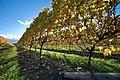 New Zealand - Vineyards - 8969.jpg
