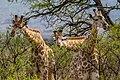 Nkomazi Game Reserve, South Africa (22652758085).jpg
