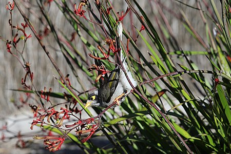 Noisy Miner Branch-ScienceCompAnd.jpg