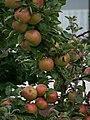 Nordbaden Äpfel an Baum August 2011.JPG