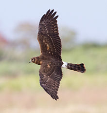 Northern Harrier2 by Dan Pancamo.jpg