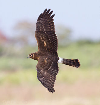 Northern harrier - In flight