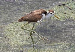 Image result for northern jacana