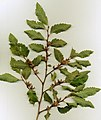 Nothofagus obliqua Shoot LeavesCupules.jpg