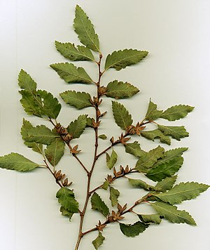 Nothofagus - Shoots, leaves, and cupules of N. obliqua