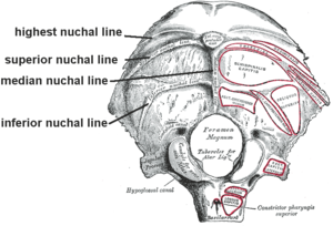 Nuchal lines - Occipital bone. Outer surface.