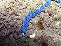 Nudibranch-Pteraeolidia ianthina (17272323106).jpg