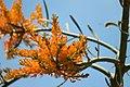 Nuytsia flower close up.jpg