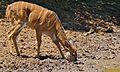 Nyala (Tragelaphus angasii) female (6611484629).jpg