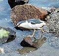 Nycticorax nycticorax -Morro Bay, California, USA-8.jpg