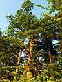 Oak - panoramio (5).jpg