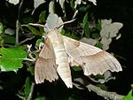 Oak Hawk-moth (Marumba quercus) male (8333215696).jpg