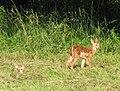 Odocoileus virginianus (white-tailed deer) 9 (8270243376).jpg