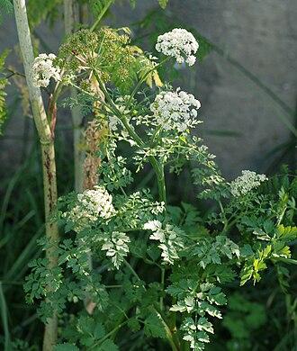 Water dropwort - Oenanthe crocata