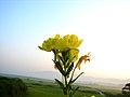 Oenothera odorata 3.jpg