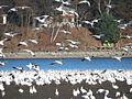 Oies blanches du Québec en vole.JPG