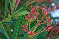 Oleander pupoljci.jpg