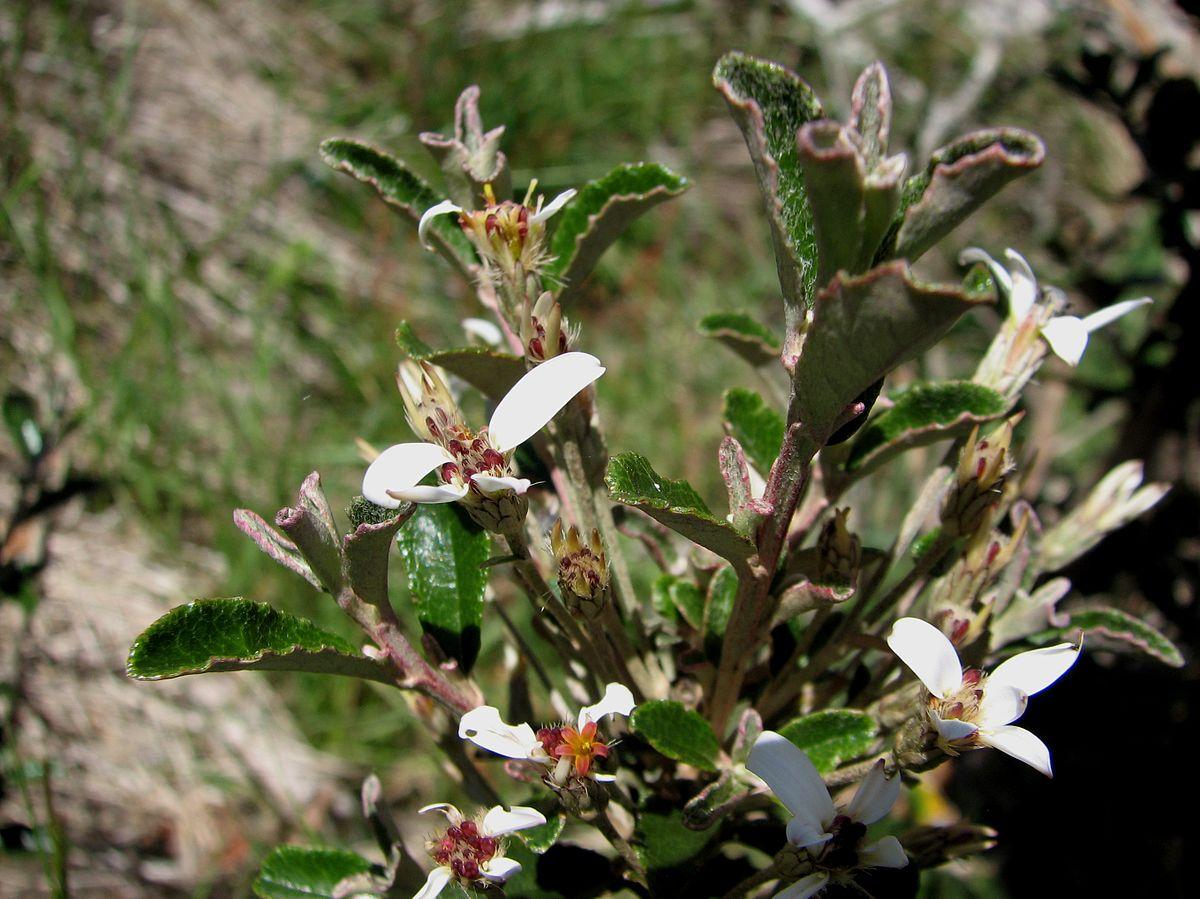 Olearia Myrsinoides Wikipedia