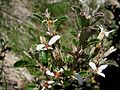 Olearia myrsinoides.jpg