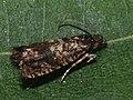Olethreutinae sp. (26543061477).jpg