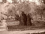 Olive tree on the Mount of Olives, reported to be 2000 years old.