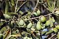 Olives (CAROLIA) CL. J Weber (4) (23122204976).jpg