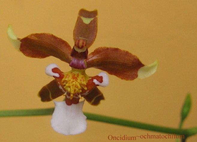 Oncidium ochmatocilum