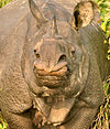 One horned Rhinocerous.jpg