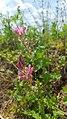 Onobrychis viciifolia (28888466021).jpg