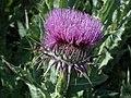 Onopordum nogalesii - NIKA3390.jpg