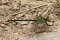 Ophiogomphus cecilia LC0312.jpg