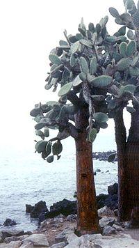 Opuntia echios 2