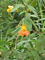 Orange Balsam or Jewelweed (Impatiens capensis) - geograph.org.uk - 950225.jpg