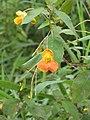 Orange Balsam or Jewelweed (Impatiens capensis) - geograph.org.uk - 950225.jpg